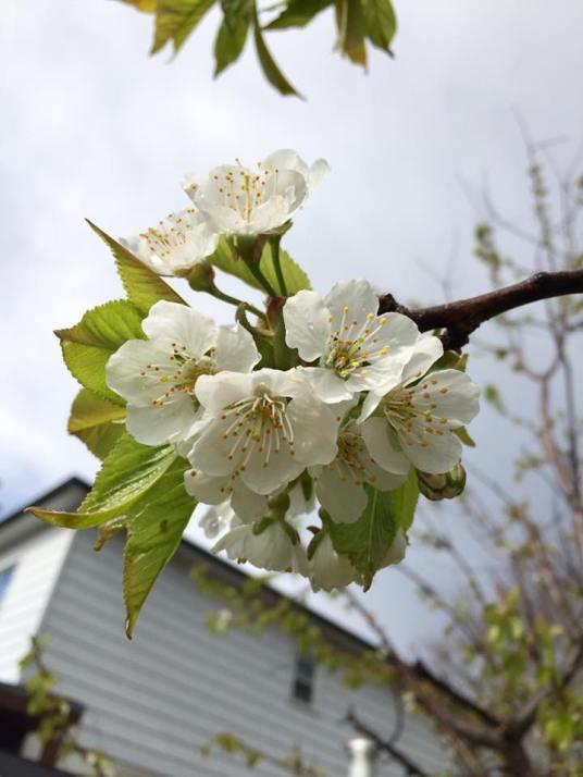 blossom, Toronto