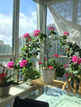 Picture of Bougainvillea